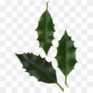 Holly Leaves Photo Holly Leaf Transparent Hd Png Download Watercolor Leaves Watercolor Splash Png Leaves Vector