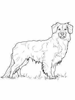 Australian Shepherd Coloring Pages New Nova Scotia Duck Tolling Retriever In 2020 Dog Coloring Page Australian Shepherd Colors Australian Shepherd