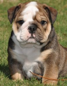 ITS NOT FAIR!! I WANT ANOTHER ONE! Bull dog puppy