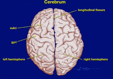 Image result for gyri