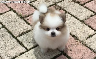 Micro Pomeranian For Sale Near Me Teacup Pomeranian Puppies Near Me White Teacup Pomeranian Pomeranian Puppy Pomeranian Puppy Teacup Pomeranian Puppy For Sale
