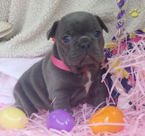 Bliss Akc French Bulldog Puppy For Sale In Minerva Oh