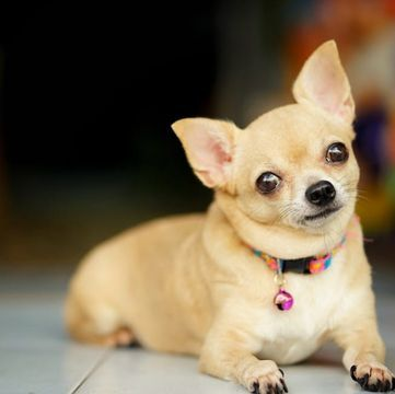 Chihuahua Puppies For Sale Adoptapet Com Chihuahua Puppies