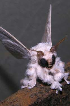 Poodle MothThe Venezuelan poodle moth is a fuzzy little insect who was discovered in 2009