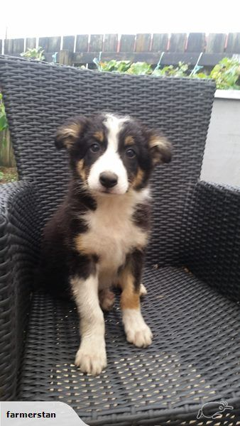 Purebred Border Collies Trade Me Dogs And Puppies Dog