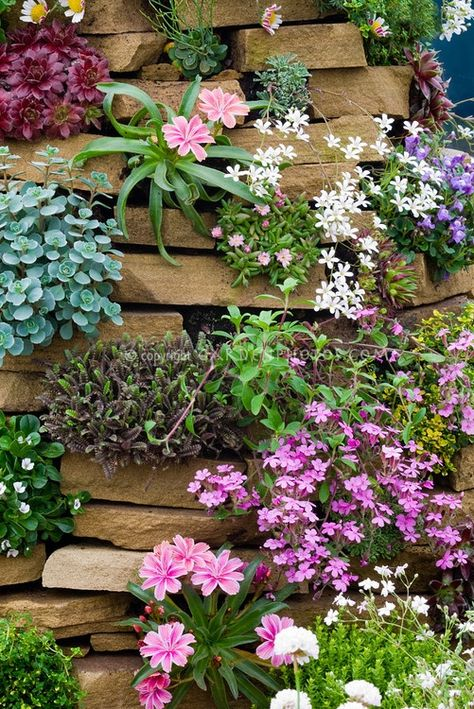 Rock garden plants in stone crevices including Alpines, mix, in stone wall tower (Lewisia, phlox, sempervivum, Silene acaulis Francis Copeland' etc.). gowing vertically in nooks and crannies, variety of flowering and foliage