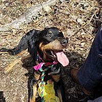 Pottsville Pa Rottweiler Meet Princess A Dog For Adoption