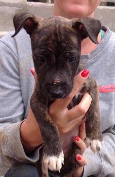 Tierfreunde Hund Und Leben E V India Animals Pitbulls Dogs