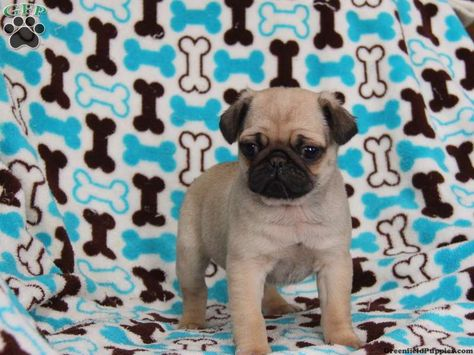 Chester Pug Puppy For Sale In Ronks Pa Pug Puppies For Sale