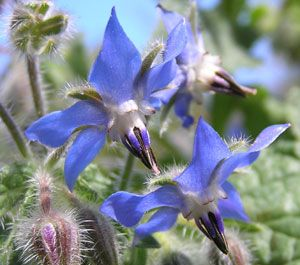 Borage Flower Essence Experience Lightness Of The Heart Flower Essences Edible Flowers Borage