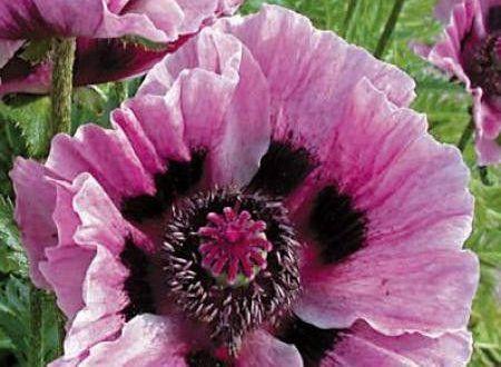 Eastern Poppy 39 Manhattan 39 Un Pavot D Orient A Fleurs Chifonnees Lilas Pale Lila Bluten