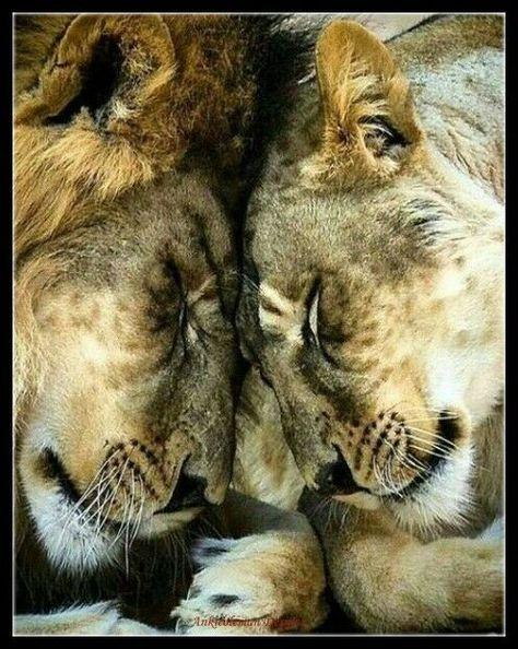 Lion Love 1 - Chart DIY Counted Cross Stitch Patterns Needlework DMC Color  #AnkicolemanDesigns #Animals