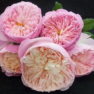 Light Pink Constance Garden Roses L Wholesale Flowers Diy
