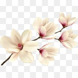 Branches Plant Magnolia Vector Squid Magnolia Flower Branches Leave The Png Flower Leave Png White Clipart Fl Flower Clipart Magnolia Flower Botanical Drawings