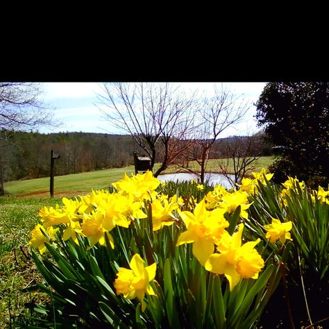 My grandmothers gorgeous easter lilys...overlooking the pond on the farm
