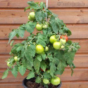 Tomatensorte Hoffmanns Rentita Garten