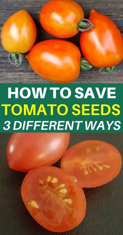 How To Save Tomato Seeds It S Easier Than You Think Growing