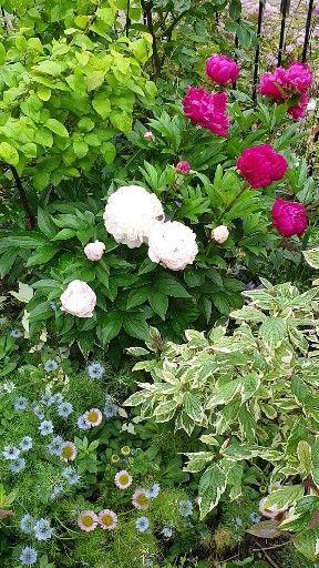 Garden Gardening Gardener Kent Ashford Canterbury We Open The Garden Season And Introduce In 2020 Beautiful Flowers Garden Peonies Garden Garden Inspiration