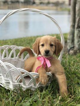 Golden Retriever Puppy For Sale In Lakeland Fl Adn 64028 On
