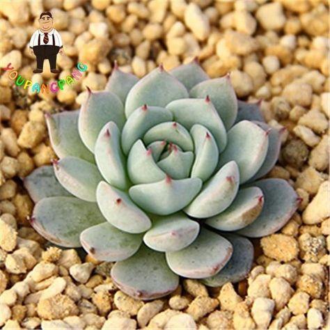 Lithops100SEEDS MIX 1000seeds Succulent