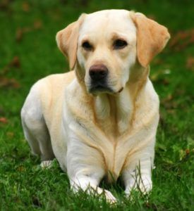 Labrador Retriever Vs Golden Retriever Dog Vs Dog Comparison