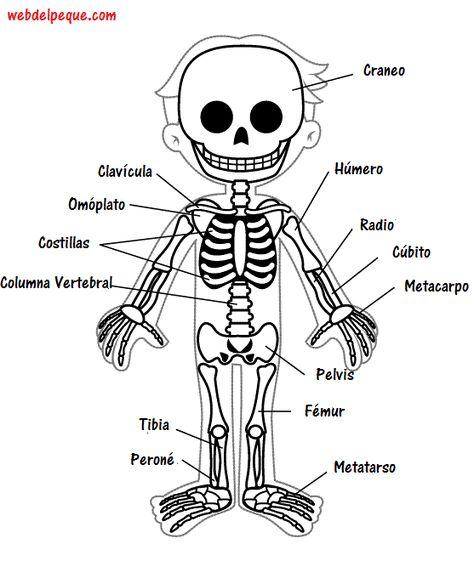 Imágenes del esqueleto humano - Web del Peque