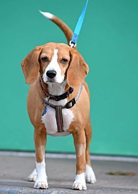 Pottsville Pa Beagle Meet Daisy A Pet For Adoption Pets