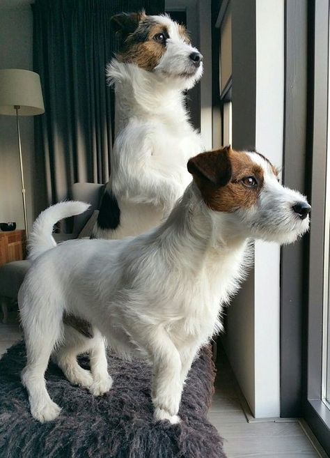 Jack Russell on alert - Tap the pin for the most adorable pawtastic fur baby apparel! You& love the dog clothes and cat clothes! Perros Jack Russell, Jack Russell Puppies, Jack Russell Mix, Cute Puppies, Cute Dogs, Dogs And Puppies, Maltese Puppies, Chihuahua Dogs, Terrier Puppies