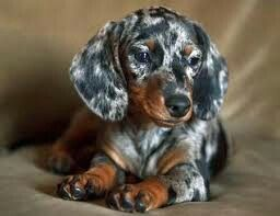 Short Haired Dapple Duchshund Dachshund Dachshund Puppies