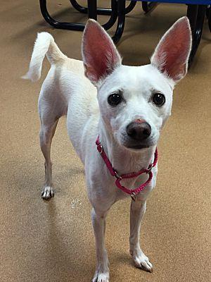 Norwalk Ct Whippet Meet Betty A Dog For Adoption Whippet