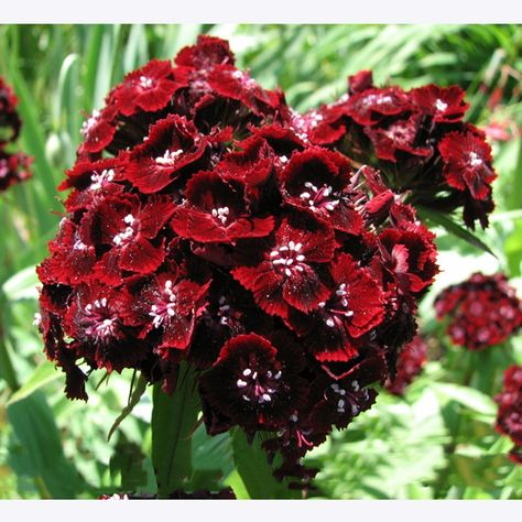 200 Dianthus Seeds Mixed Color Sweet William Flower Professional Pack