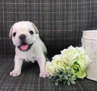 French Bulldog Puppy For Sale In Los Angeles Ca Usa Adn 99653