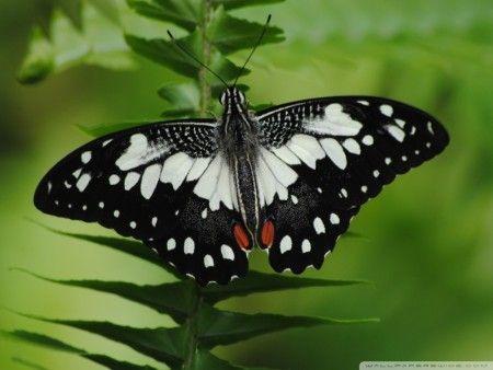 صور فراشات ملونة اجمل الخلفيات لحشرة الفراشة اخبار العراق Butterfly Wallpaper Macro