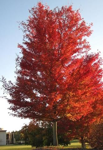 Silver Maple Tree Silver Maple Tree Fast Growing Shade Trees Fast Growing Trees