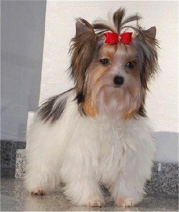 Biewer Terrier Google Search With Images Pretty Animals Biewer Yorkie Terrier Dog Breeds