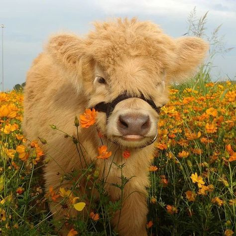 Who else wants to hug and kiss this cute baby cow? Cute Baby Cow, Baby Cows, Cute Cows, Cute Babies, Baby Farm Animals, Baby Elephants, Baby Ducks, Fluffy Cows, Fluffy Animals