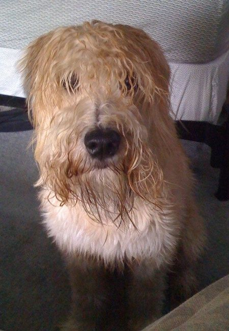 Front View A Wet Looking Tan Soft Coated Wheaten Terrier Dog Is