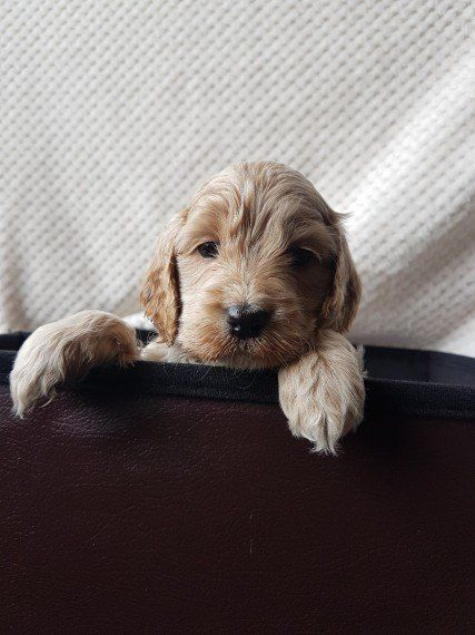 Cockapoo Pups For Sale Cockapoo Puppies For Sale Puppies For