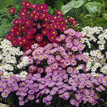Set Of 3 Hardy Aster Perennial Plants In 9cm Pots White Purple Pink Plants Perennial Plants Outdoor Flowers
