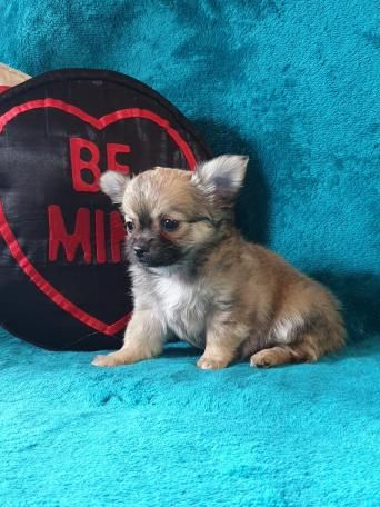 Gorgeous Kc Reg Chihuahua Boys Perros Dogs Pet Vaccinations