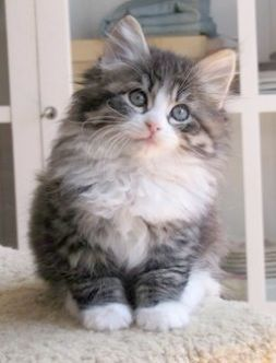 Cats And Kittens Perth Region Cats And Kittens For Sale In Michigan Siberian Kittens Pretty Cats Cute Cats