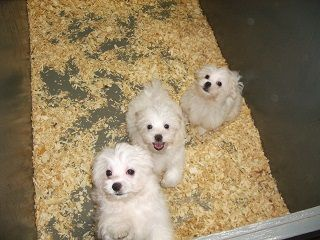 Litter Of 5 Maltese Puppies For Sale In Carrollton Ga Adn 53506