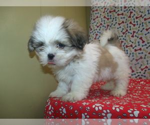 Shih Tzu Puppy For Sale In Paterson Nj Usa Puppies For Sale