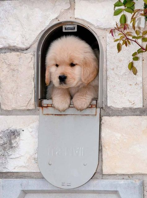 Few pics are as precious as cute Golden Retriever puppy pictures. Family Friendly Dogs, Friendly Dog Breeds, Cute Little Animals, Cute Funny Animals, Golden Retriever Names, Golden Retrievers, Golden Retriever Puppies, Cute Dogs And Puppies, Doggies