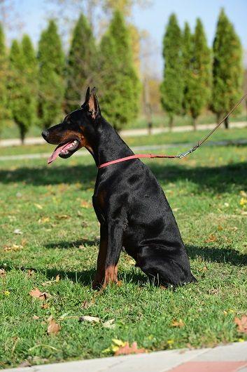 Ema Di Diwinum Anjing Doberman Grand Prix