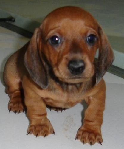 Image Result For Full Grown Miniature Dachshund Long Haired