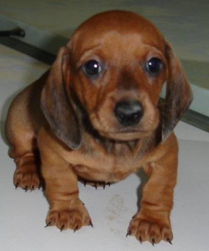 Miniature Dachshund Puppy Dachshund Puppy Miniature Dachshund