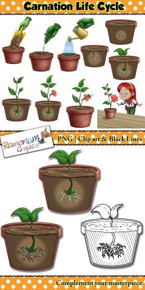 Flower Life Cycle Clip Art With Images Flower Life Cycle