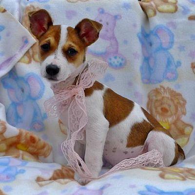 Helena Al Rat Terrier Meet Roma A Dog For Adoption Rat