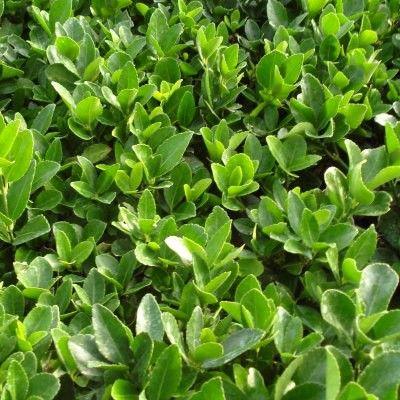 arbre feuillage pourpre persistant free un arbuste color des feuilles aux baies with arbre. Black Bedroom Furniture Sets. Home Design Ideas